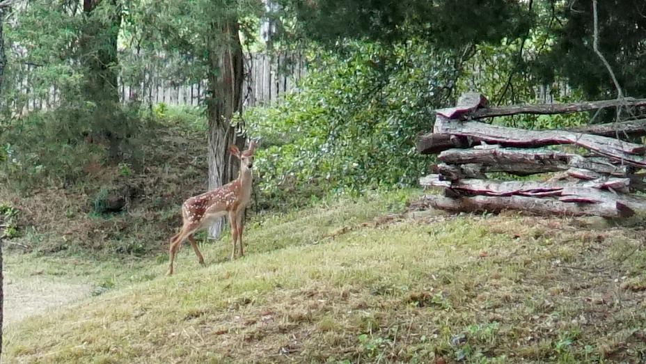 Baby deer on the Etowah Nature Trail